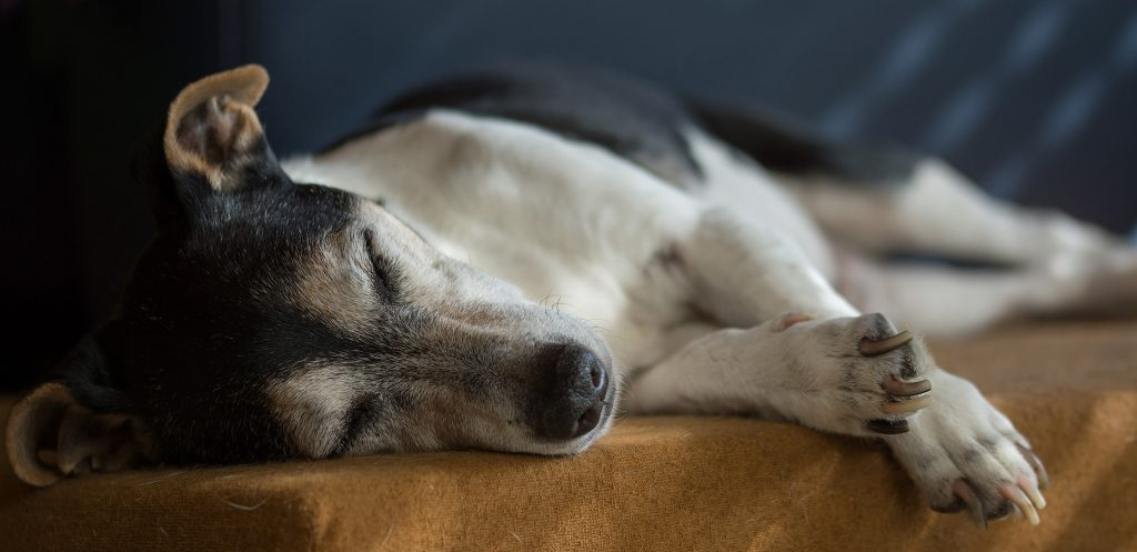 When To Put A Dog Down With Hip Dysplasia