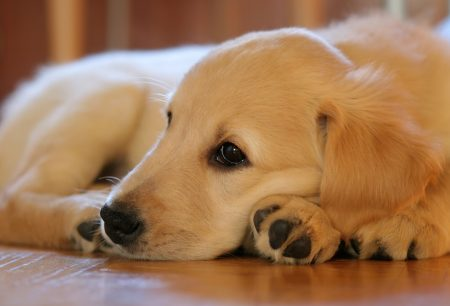 When To Euthanize A Dog With Hemangiosarcoma